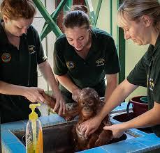 Vill du bli volontär och krama orangutanger?